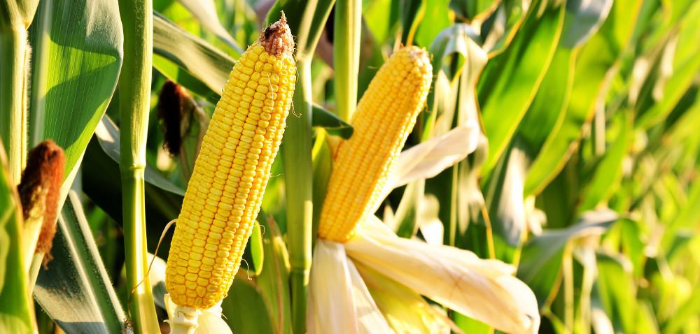 Gdzie już koszą kukurydzę?