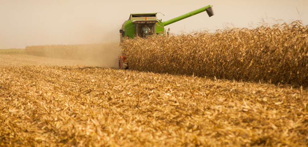 W jakiej formie sprzedać ziarno kukurydzy: mokre czy suche?