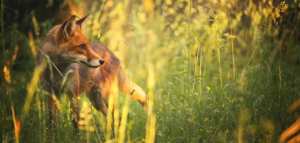 Uważajmy wlasach ina polach na szczepionki dla lisów