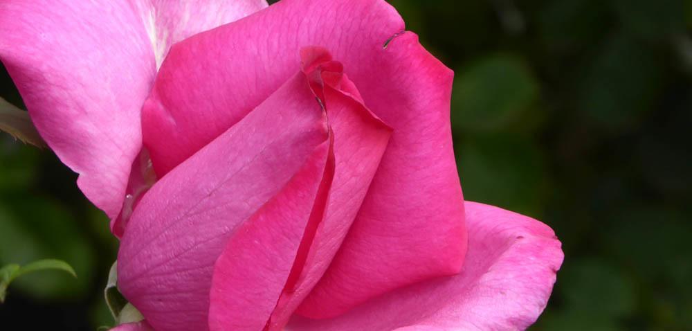 Róże ogrodowe: ciekawostki iporady