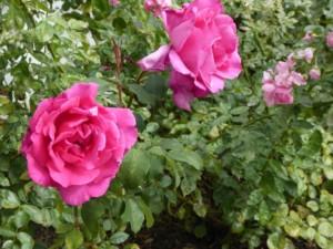 Róża ogrodowa odmiany Parole przez wiele lat była uznawana za najpiękniejszą podczas kutnowskiego Święta Róży