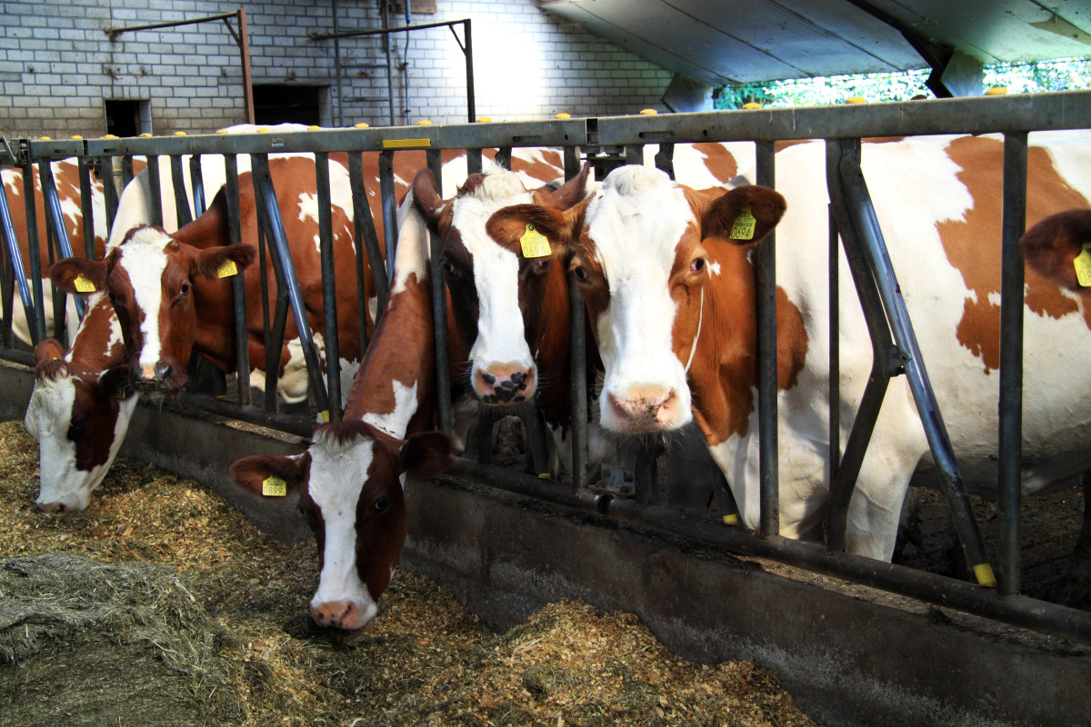 producenci mleka