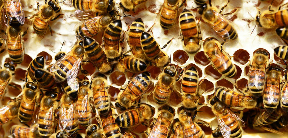 Adoptuj pszczołę: 35 tys. adoptowanych owadów