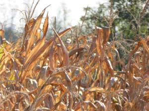 Gdzie zbierają kukurydzę na ziarno przed terminem?