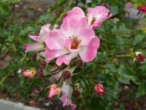Niektóre kwiaty dopiero są wpąkach. Inne już przekwitły