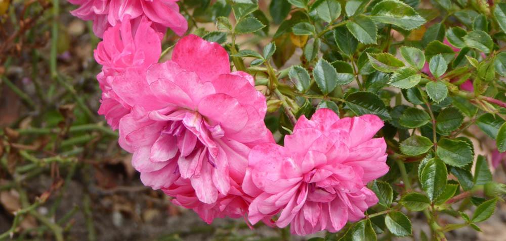 Róże ogrodowe: odporne na suszę dzieci słońca