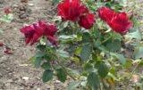 róże ogrodowe z gołym korzeniem