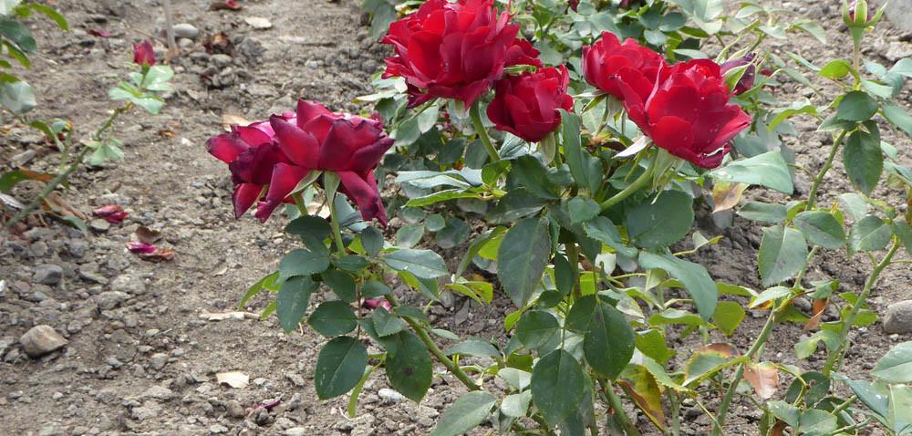 Róże ogrodowe: jak posadzić różę zgołym korzeniem?