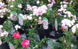 róże z pojemnika