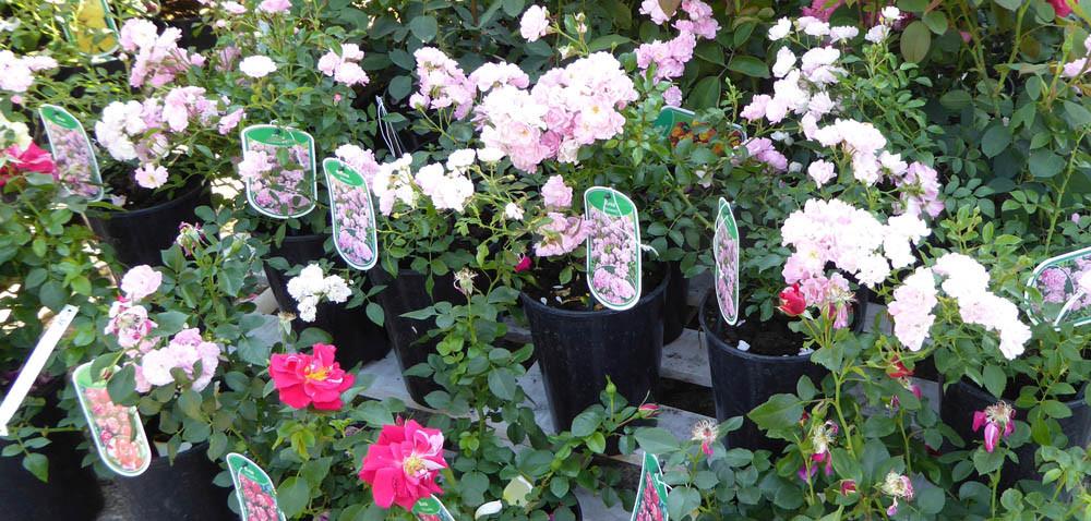 Róże ogrodowe zpojemnika: jak je posadzić wogrodzie?