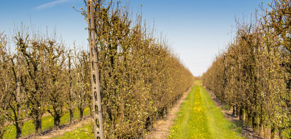 Przygotowanie drzew owocowych do zimy: przede wszystkim nawożenie!