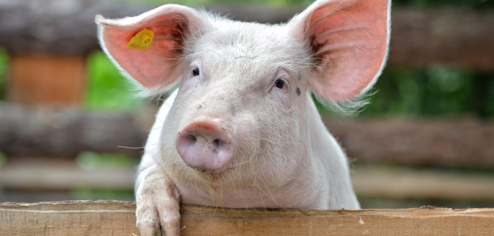 Co wpływa na wydajność poubojową świń?
