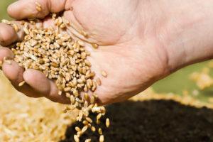 Notowania pszenicy najwyższe od dwóch miesięcy