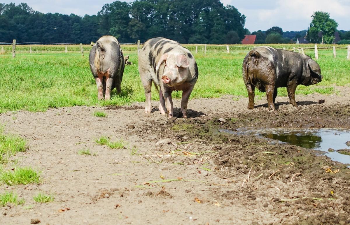 przydomowa hodowla trzody chlewnej