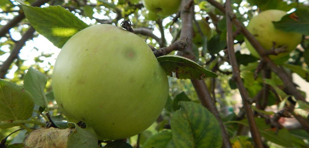 Polskie jabłka – jakie odmiany wybierają konsumenci?