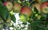 redukcja sadów