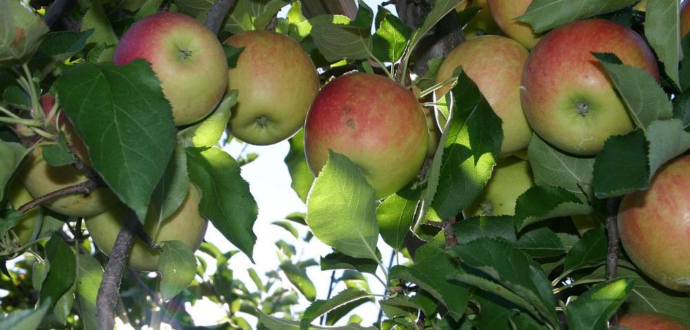 Redukcja sadów zdopłatami – czy jest to rozwiązanie kryzysu na rynku jabłek?