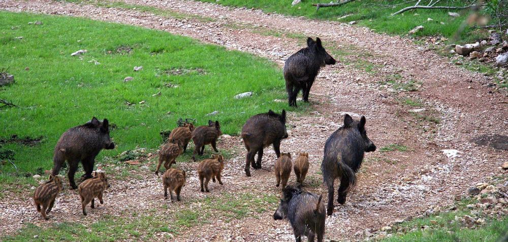 Dziki zASF wędrują wgłąb kraju