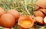 salmonella w jajach