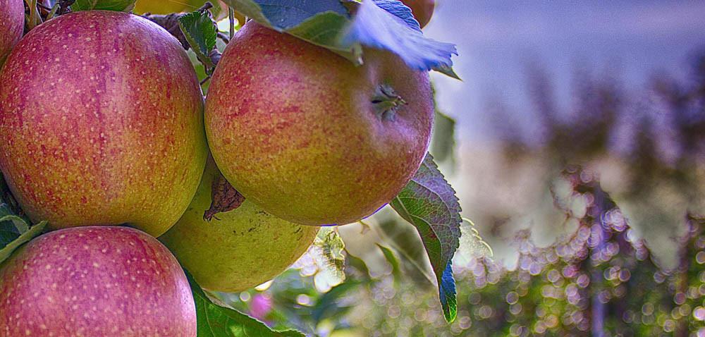 Ile jabłek będzie wtym sezonie?