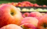 drastyczna sytuacja producentów jabłek