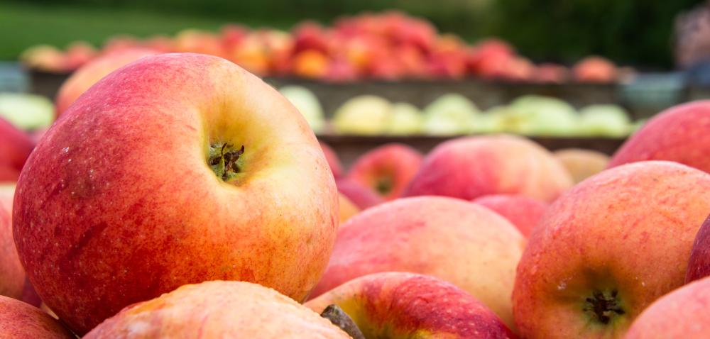 Drastyczny scenariusz dla producentów jabłek