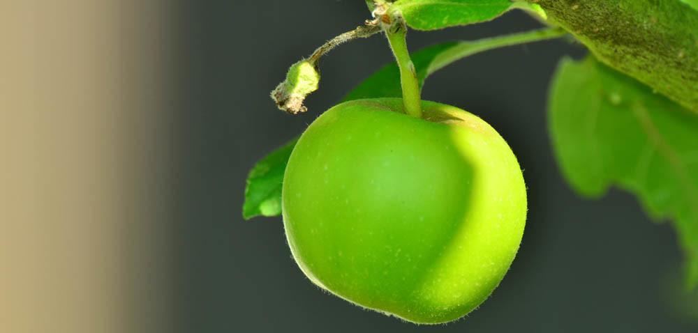 Nadal trwają zbiory jabłek