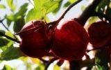 jabłka najczęściej zrywają emeryci