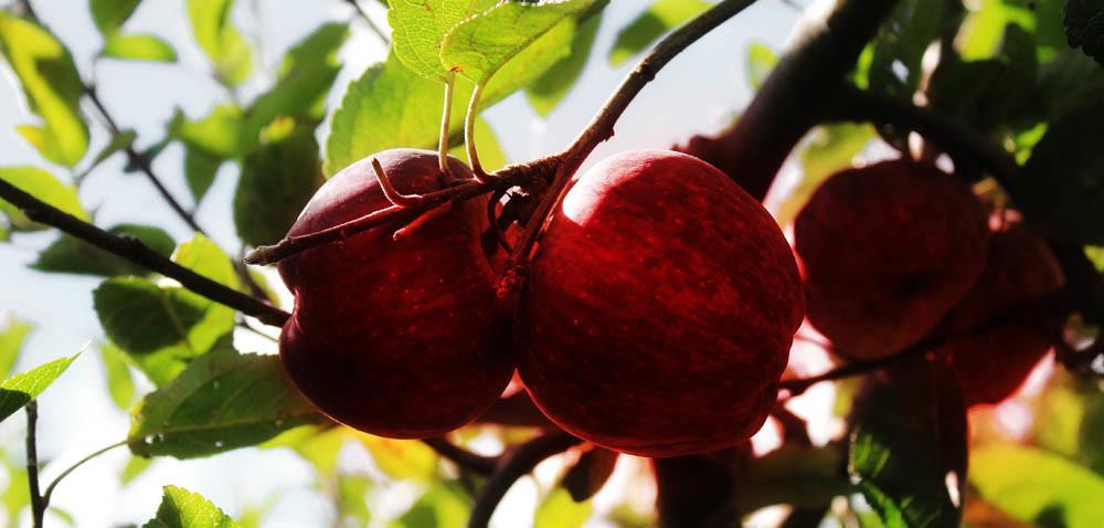 Kto zrywa jabłka? Najczęściej emeryci albo…