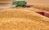 Skup kukurydzy: bardziej sucha, lepsze ceny