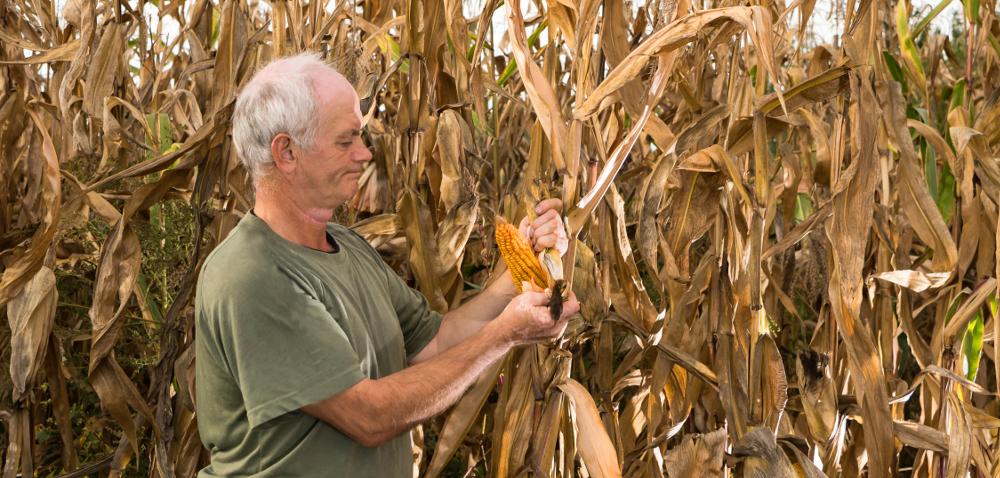 Kujawy: spore łany kukurydzy nadal stoją na polach