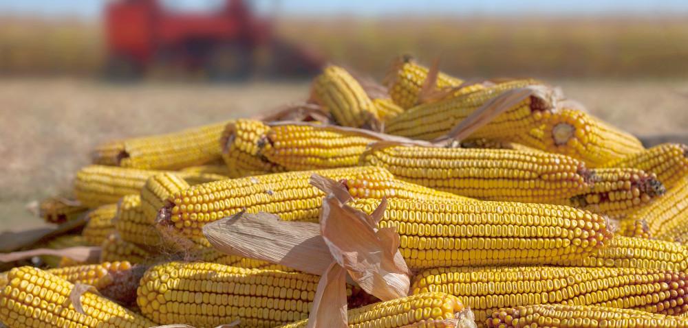 Kukurydza zdopłatami do materiału siewnego?