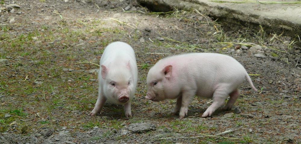 Od 18 października – zmiany widentyfikacji iznakowaniu zwierząt