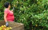opłacalne odmiany jabłek