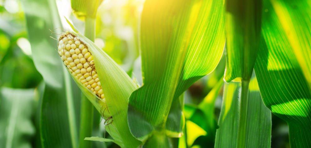 Kukurydza na Polach Klasy S