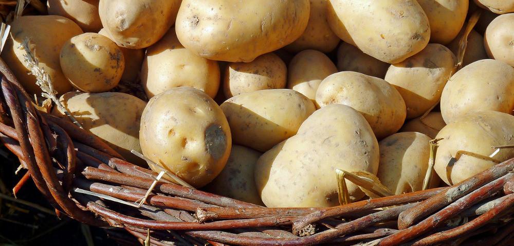 Uprawa ziemniaków – zapowiadają się wysokie plony