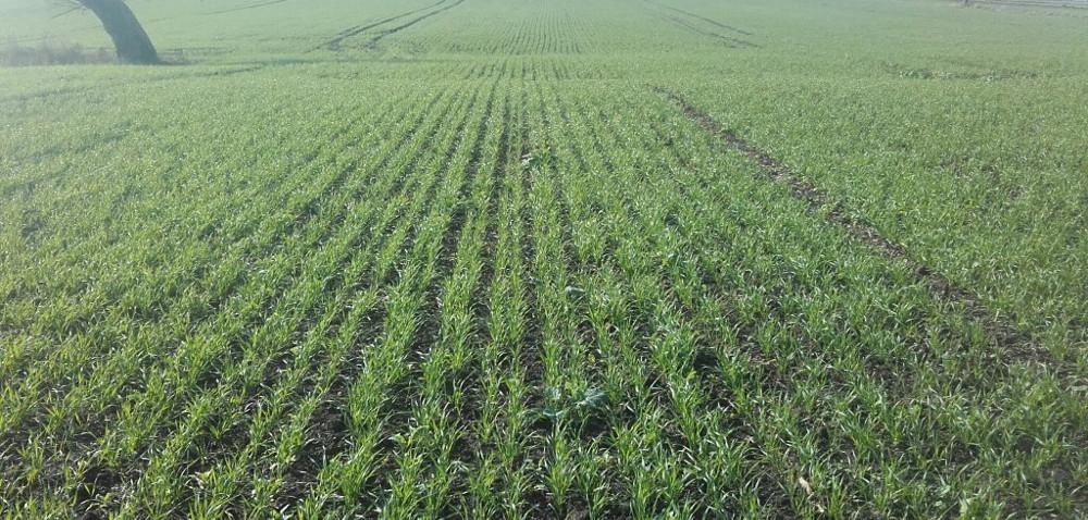 Zbyt gęsty siew pszenicy: dlaczego nie warto przesadzać?