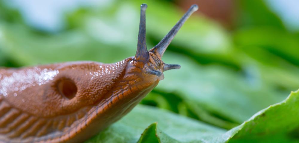 Ślimaki zjadają wschodzące oziminy