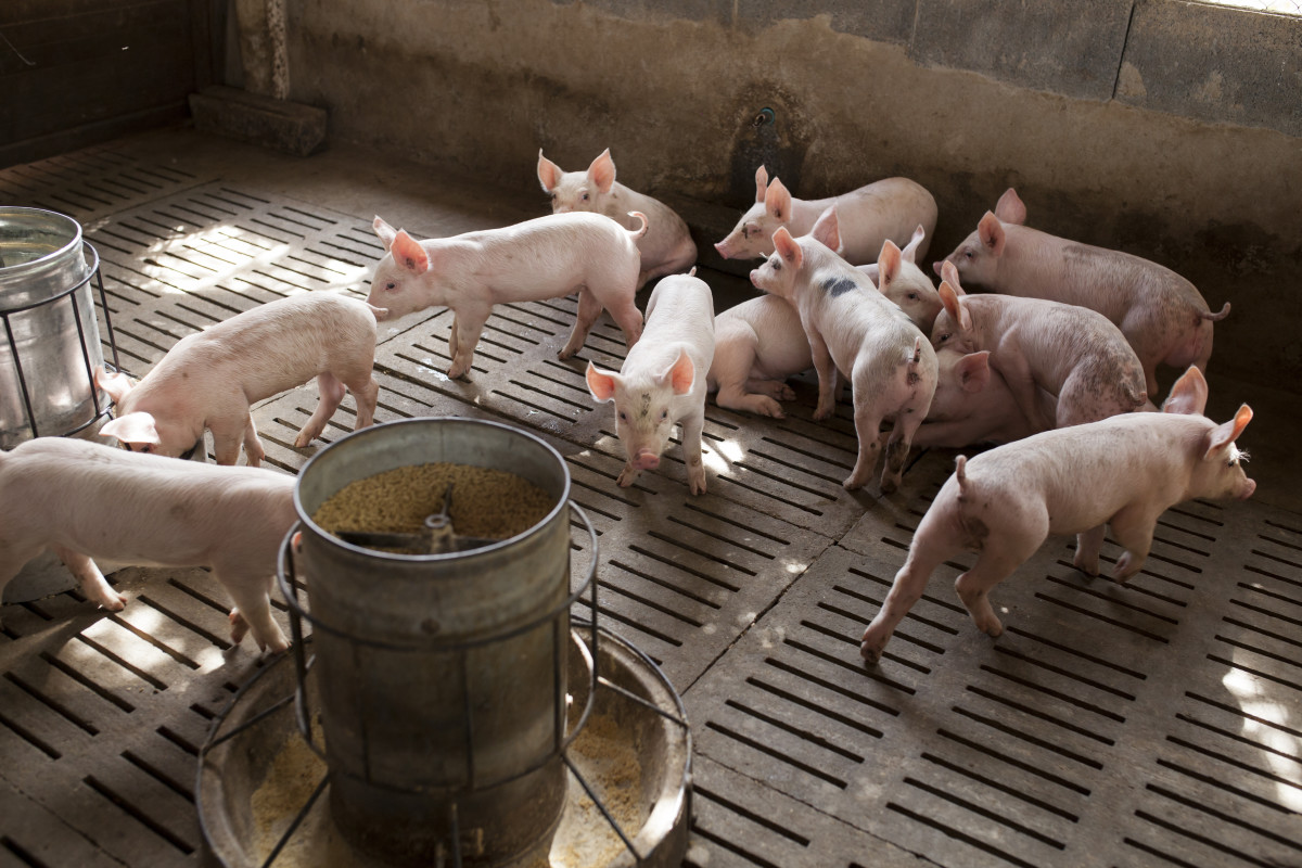 witaminy wżywieniu świń