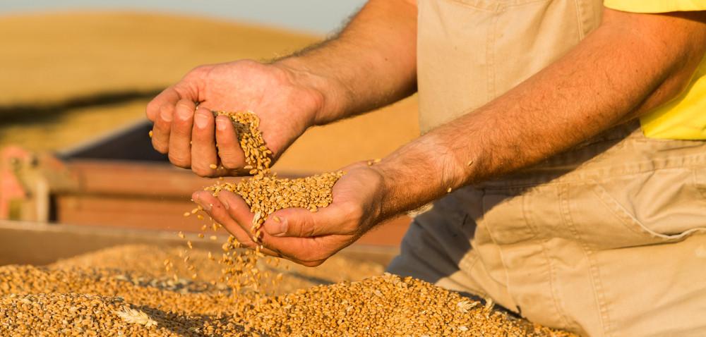 Zbiory zbóż wPolsce będą niższe