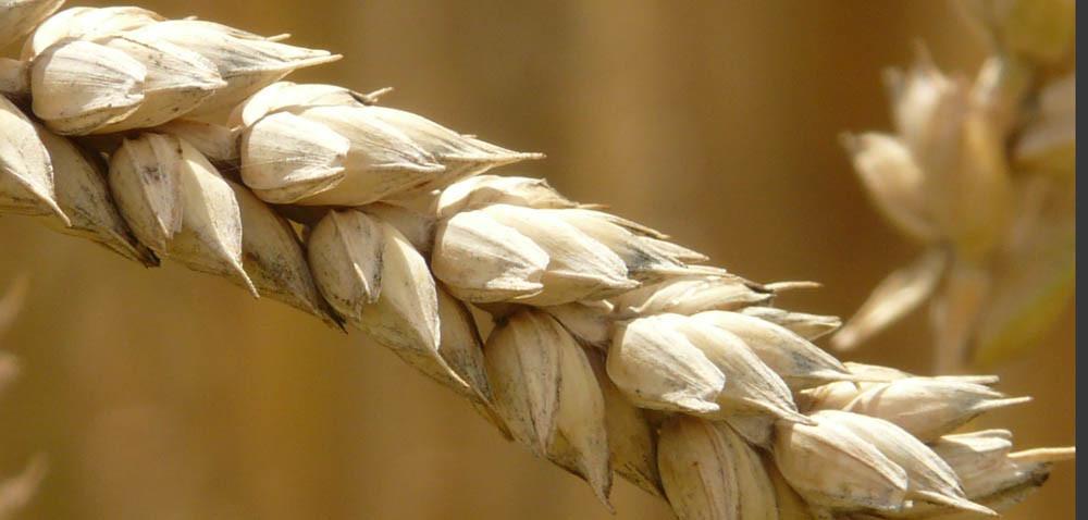 Jakie są ceny zbóż? Notowania pod presją koronawirusa