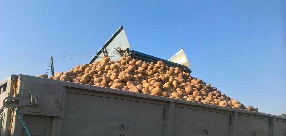 Jak przechowywać ziemniaki po zbiorach?