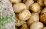 eksport ziemniaków