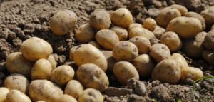 krajowe dni ziemniaka