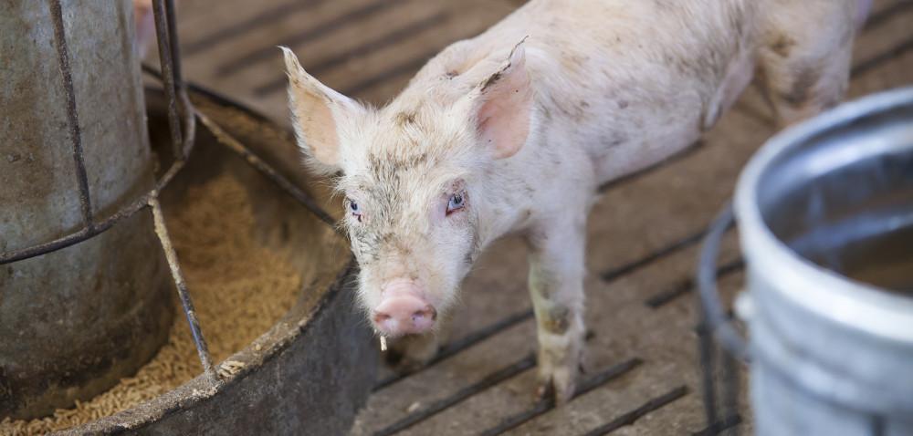 Co podawać tucznikom, aby poprawić mięsność? Część 2