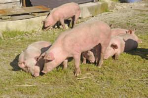 przydomowa hodowla świń