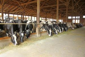 krowy aprzeciągi