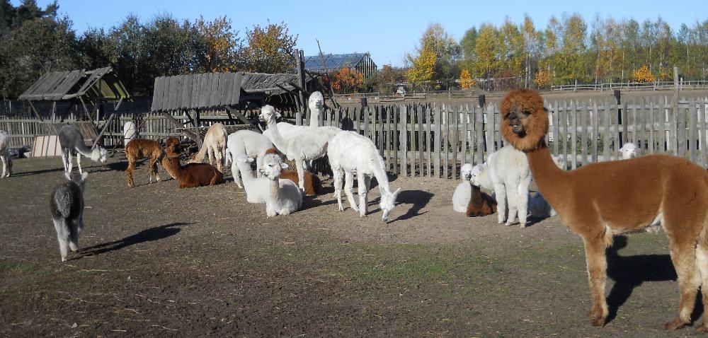 Już jutro spotkamy się na Alpaca Day 2016!