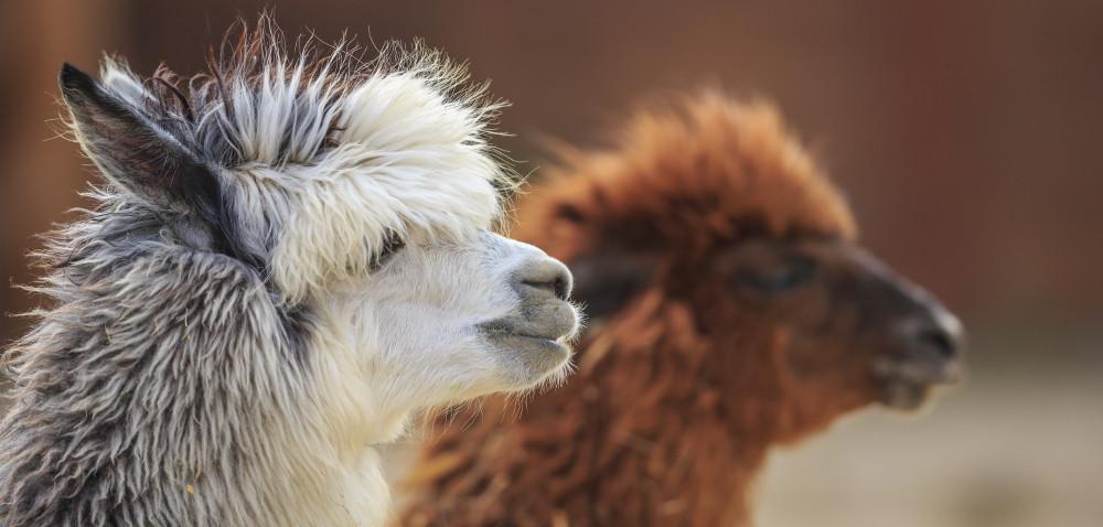 Alpaca Day 2016: zobacz, co zaplanowano!