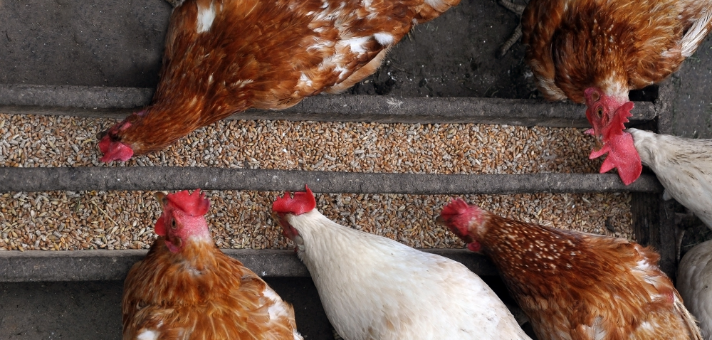 Jak karmić kury wsezonie jesienno-zimowym?